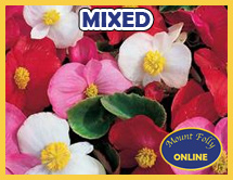 110 x Mixed Colour, Mixed Leaf Begonia Miniplugs